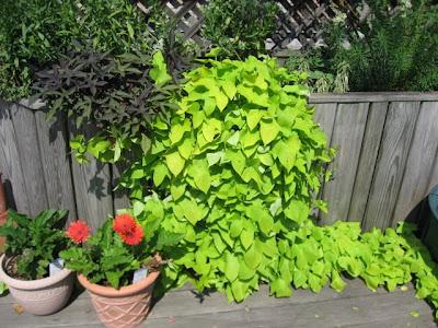 sweet potato vine (chartreuse 'Margarita,' dark 'Blackie');