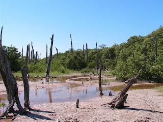 Paysages du Mexique - Celestun - forêt pétrifiée