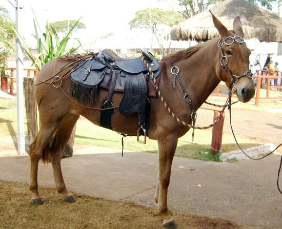 550 x 447 · 71 kB · jpeg, Mula (Equus africanus x ferus)