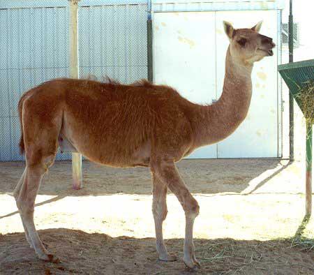 Franky home hibridos animales iii for Cama wikipedia