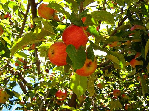Árboles de manzanas - Imagui