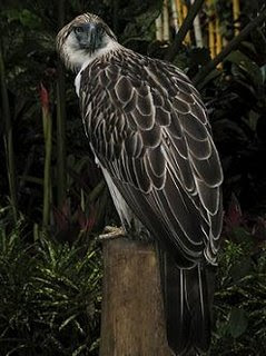 Philippine Eagle – The Most Powerful Birds In The World