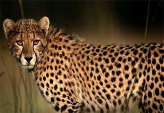 Cheetah - The Fastest Land Mammal