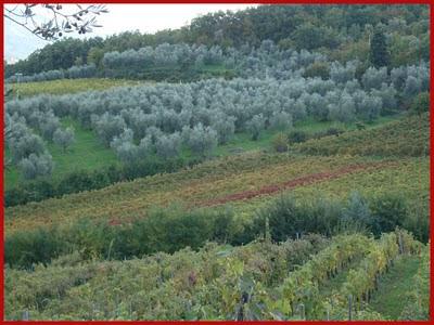 Campagna Rufinese oliveto podere il pozzo