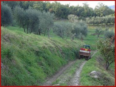 raccolta olive cantine fratelli bellini rufina