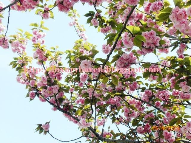 fukuoka cherry blossoms photos