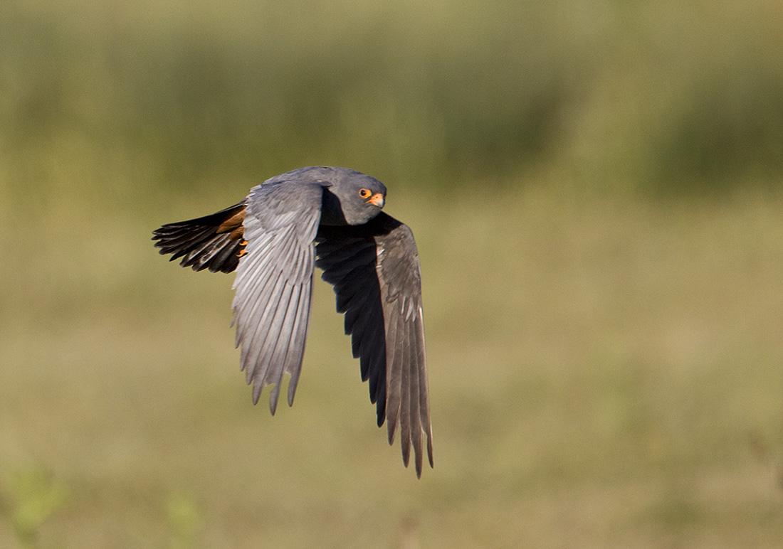 Falconiformes. sub Falconidae - sub fam Falconinae - gênero Falco - Página 3 Red-footed+Falcons20100430_3567
