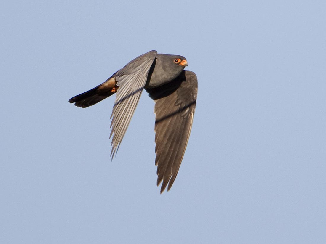 Falconiformes. sub Falconidae - sub fam Falconinae - gênero Falco - Página 3 Red-footed+Falcons20100430_3584