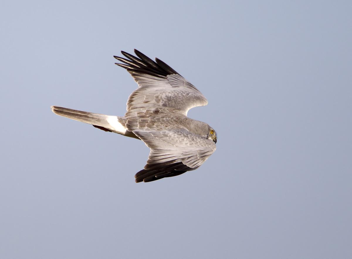 Male hen harrier photos