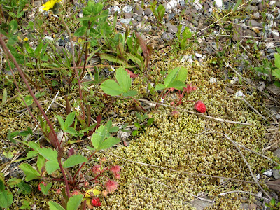 Newfoundland's wild strawberries, lichen, tundra like nordic ground cover