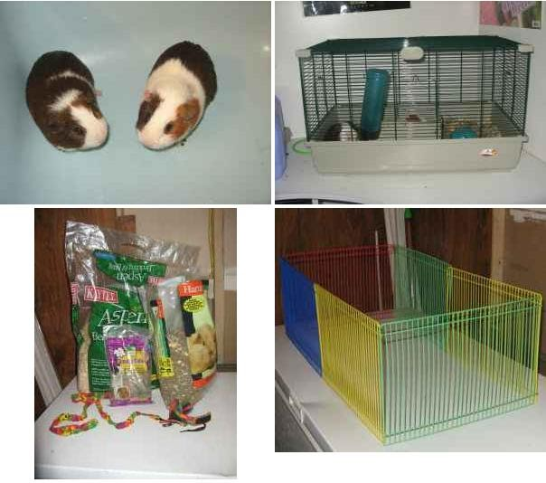 Adopt a Guinea Pig in PA/NJ/NY/WV: NY-Craigslist-Hudson ...