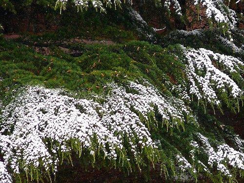 [Landscape_Snow+on+Cedar.jpg]