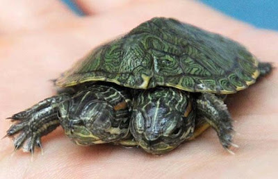 A Two-Headed Turtle That You Missed