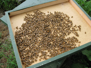 hive top covered in honey bees