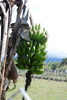 Fresh bananas!