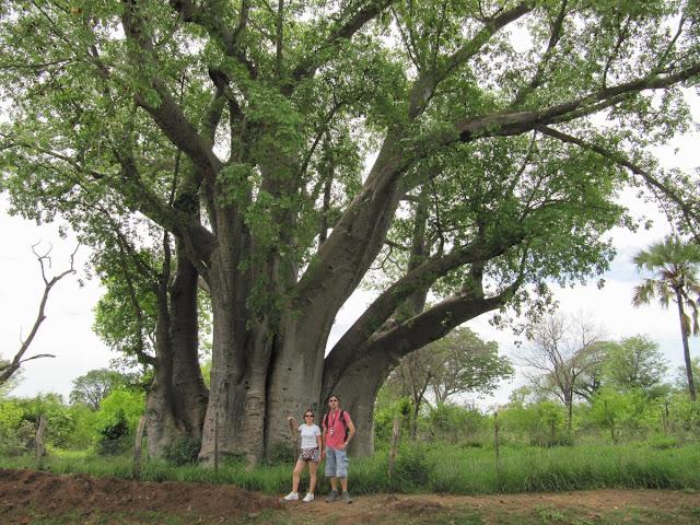 baobab gigante, baobab africano