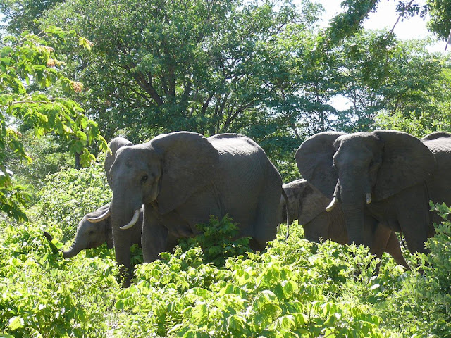 elefantes de chobe