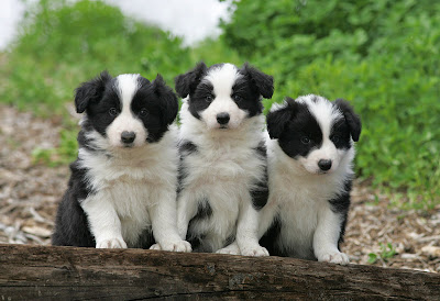 Border Collie Puppies on Spring Is Here And So Are Border Collie Puppies