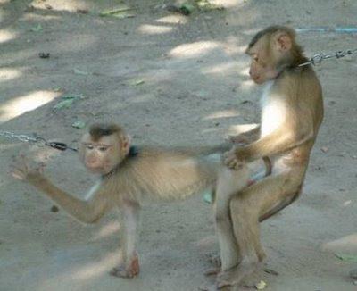 Monyet Bercinta
