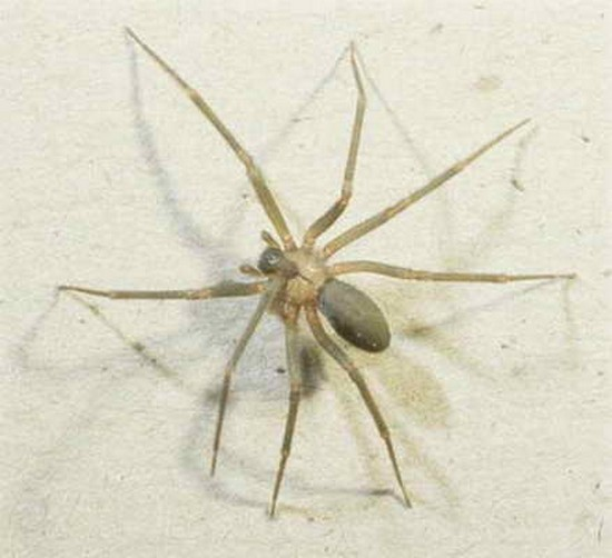 spider bites on dogs. Tegenaria Agrestis Spider