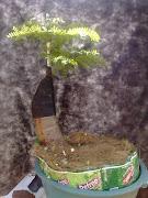 Pré-bonsai  FLAMBOYANT