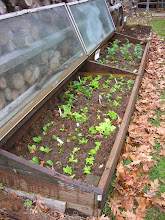 salad greens in cold frame