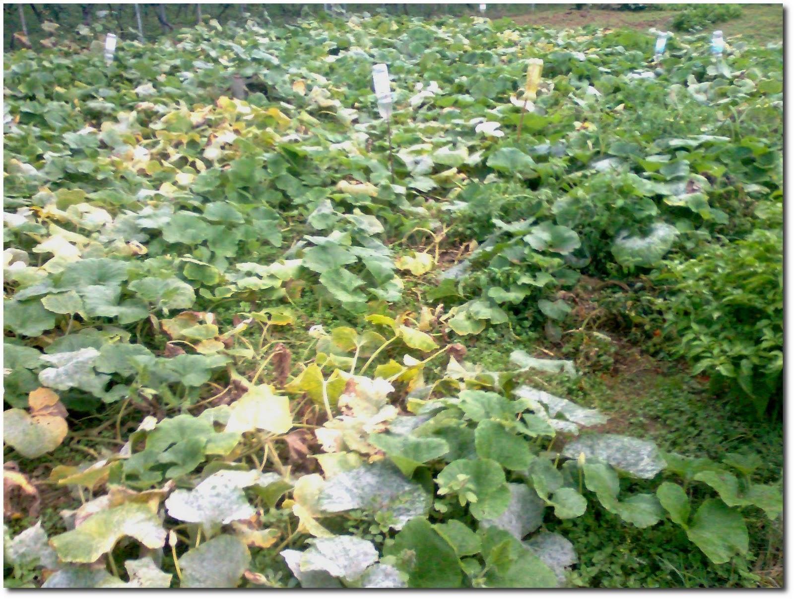 Piante Di Zucca : Frutta e verdura dal campo dica trentatrè