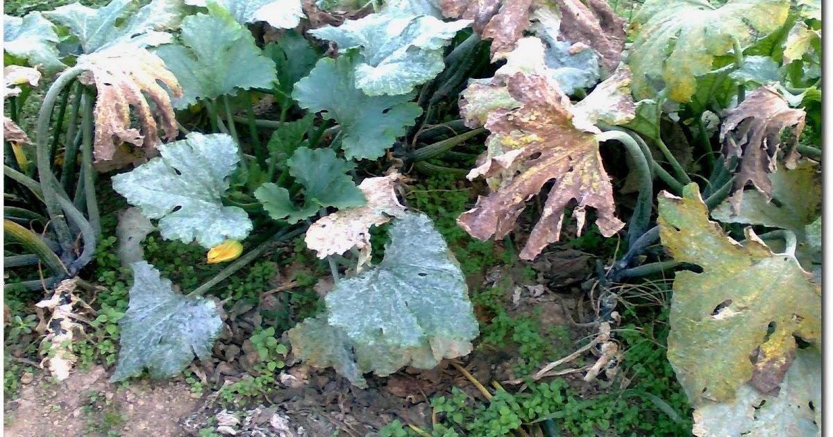 Frutta e verdura dal campo fine zucchine for Cimici nere