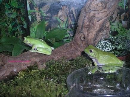 MASCOTAS: Rana arborícola verde