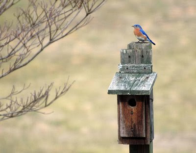 Bluebird on a Househunting Trip