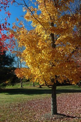 the golden foliage on some of the maples provide a great contrast to those with red hues
