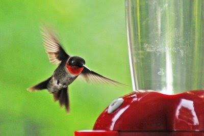 a male hummer zooms in for a landing