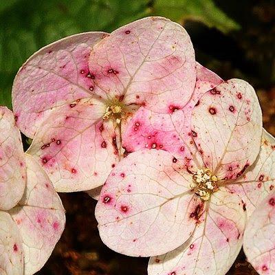 oak leaf hydrangea blooms