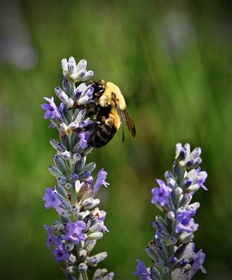 bumble bee, busy at work on the lavender