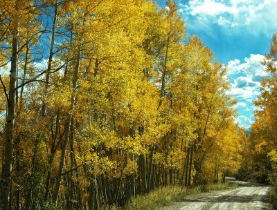 Colorado aspen trees in fall