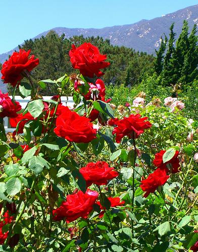 wallpaper rose garden. Rose Garden Ideas