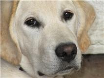 Missing my Guide Dog pup Daisy