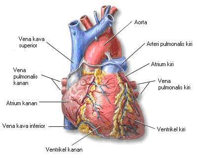 http://1.bp.blogspot.com/_6VpsWuoLlpM/TLy1nCQ8rOI/AAAAAAAAABI/ZBlLvKsd4oo/s1600/jantung-3.jpg