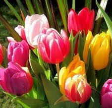 tulipas - belas e imponentes
