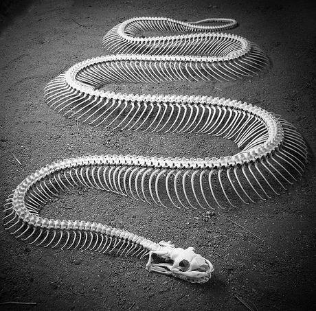 El esqueleto de las serpientes