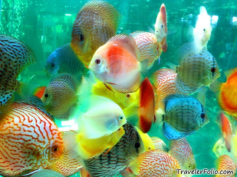 Pets care place discus fish secrets for Best place to buy discus fish