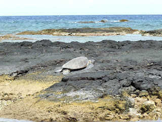 Watching Hawaiian Green Sea Turtle on Puako Beach Big Island