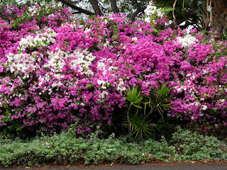Colorful Bougainvilleas in Hawaii
