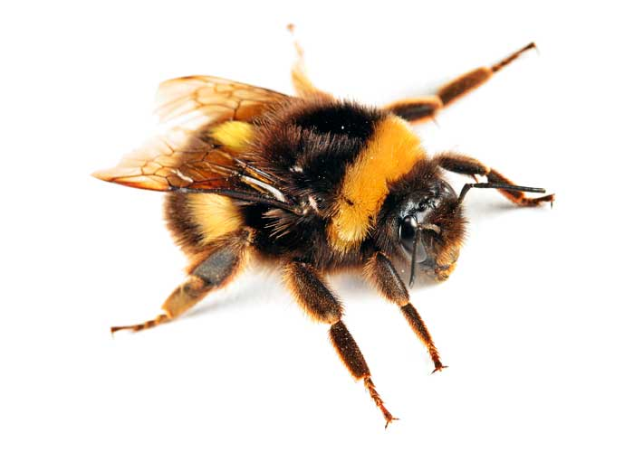 [41.bumble+bee]