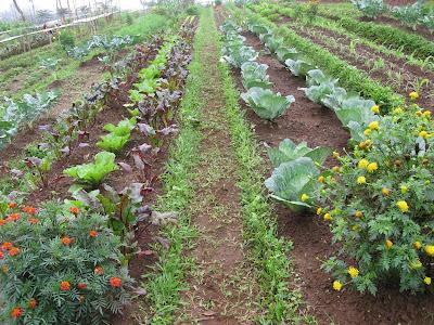 YOGYAKARTA Tanaman sayuran