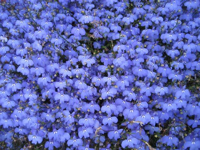[blue+flowers]