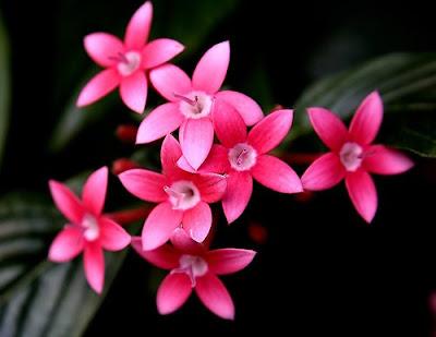 Pentas Flowers