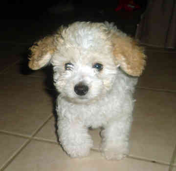 ms. Joyce in the house: Toy poodle
