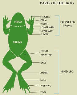 JOE: Frog Anatomy