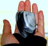 toheroa shell